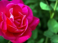 Pink Rose Wallpaper